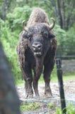 一个狂放的北美野牛的美丽的被隔绝的照片,牛在森林里 库存照片