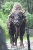 一个狂放的北美野牛的美丽的被隔绝的照片,牛在森林里 免版税库存照片