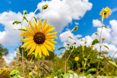 一个狂放的向日葵的特写镜头在俄克拉何马 免版税库存图片