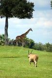 一个狂放的徒步旅行队场面-伊兰、网状的长颈鹿和格兰特的斑马 免版税库存图片