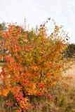 一个狂放的梨的分支与红色的离开反对天空 库存图片
