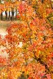 一个狂放的梨的分支与红色的离开反对天空 免版税库存照片