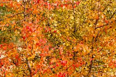 一个狂放的梨的分支与红色的离开反对天空 免版税库存图片