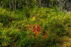 一个狂放的森林在一个国家公园在挪威- 10 免版税图库摄影