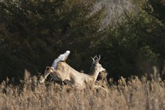 一个狂放的白尾鹿大型装配架在明尼苏达在晚秋天 库存照片
