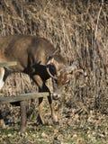 一个狂放的白尾鹿大型装配架在明尼苏达在晚秋天 图库摄影