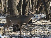 一个狂放的白尾鹿大型装配架在明尼苏达在晚秋天 免版税库存图片