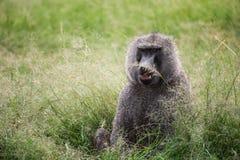 一个狒狒的正面图与休息不同地色的眼睛的  免版税库存图片