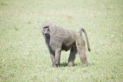 一个狒狒的画象在一棵草的在非洲 库存照片