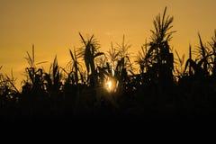一个玉米田的剪影日落的 免版税库存图片