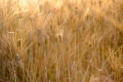 一个玉米穗在日落的 免版税库存照片