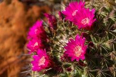 一个球状仙人掌Rafaelensis仙人掌的美丽的特写镜头在沙漠 库存照片
