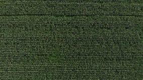 一个甜玉米领域的鸟瞰图 照相机垂直上面麦地飞行  股票录像