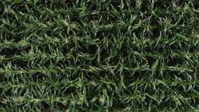 绿色玉米田的空中景观 摄像机横着飞过玉米地 顶视图 股票录像