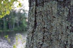 一个生苔树干俯视一个池塘 库存照片