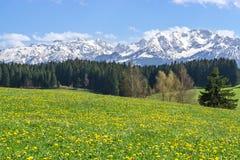 一个田园诗多山风景的美丽的黄色花草甸 库存图片