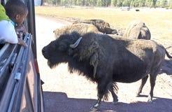 一个男孩和北美野牛在徒步旅行队公园 免版税库存照片