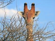 一个男性长颈鹿头的特写镜头 库存照片