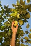 一个白人妇女的手采从一个分支的一个绿色苹果与 免版税库存图片