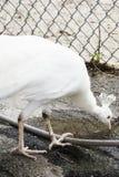 一个白色孔雀在动物园里 库存照片