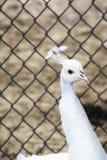 一个白色孔雀在动物园里 免版税库存照片