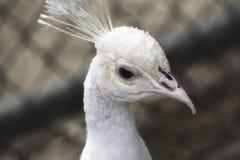 一个白色孔雀在动物园里 库存图片