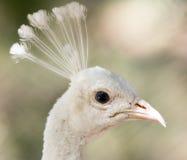 一个白色孔雀的画象在动物园的 库存照片