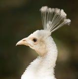 一个白色孔雀的画象在动物园的 免版税库存图片