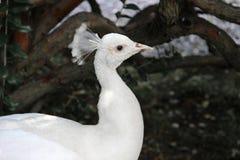 一个白色孔雀` s头 库存照片