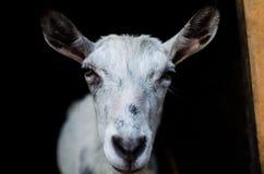 一个白色山羊特写镜头的画象在黑背景的 库存图片