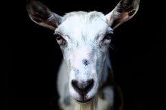 一个白色山羊特写镜头的画象在黑背景的 免版税图库摄影