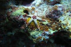 一个白色棕色逗人喜爱的海星 库存照片