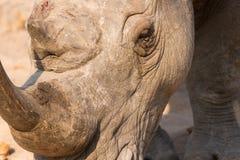 一个白色犀牛头的特写镜头有坚韧起皱纹的皮肤的 免版税库存图片