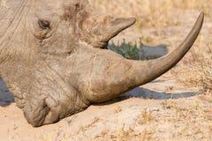 一个白色犀牛头的特写镜头有坚韧起皱纹的皮肤的 库存照片