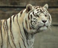 一个白色老虎男性的画象 库存图片