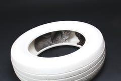 一个白色轮胎的英国Shorthair婴孩 图库摄影