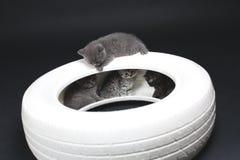 一个白色轮胎的英国Shorthair婴孩 免版税图库摄影