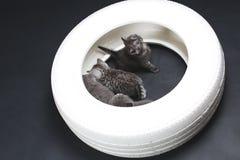 一个白色轮胎的英国Shorthair婴孩 免版税库存图片