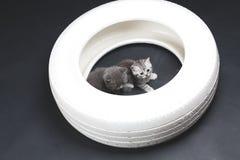 一个白色轮胎的英国Shorthair婴孩 免版税库存照片