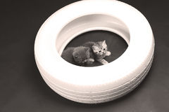 一个白色轮胎的英国Shorthair婴孩 库存照片