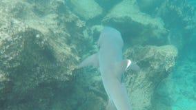 一个白被打翻的礁石鲨鱼在加拉帕戈斯 股票视频