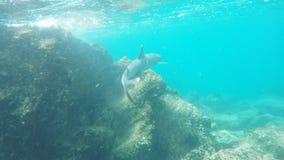 一个白被打翻的礁石鲨鱼沿礁石游泳在isla bartolome 股票视频