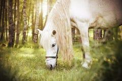 一个白马在桦树森林中的一个农村牧场地走并且嚼草 免版税库存照片