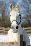 一个白马的特写镜头在小牧场 库存图片