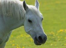 一个白马的画象 库存图片