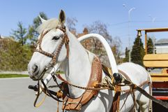 一个白马被利用对推车 紧固推车对马颈轭 免版税库存图片