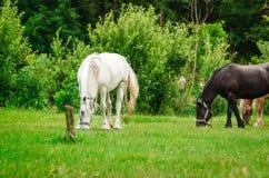 一个白马被栓对岗位吃着绿草 库存图片