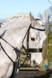 一个白马头 免版税库存照片