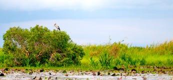 一个白鹭鸟立场的软的模糊的照片在树的在红色莲花盐水湖附近的绿草领域有作为背景的天空蔚蓝的 库存照片