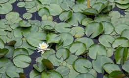 一个百合在池塘 免版税库存照片